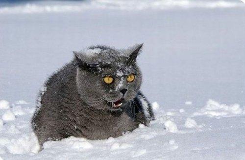 Кошки играют в снежную погоду 16 фото
